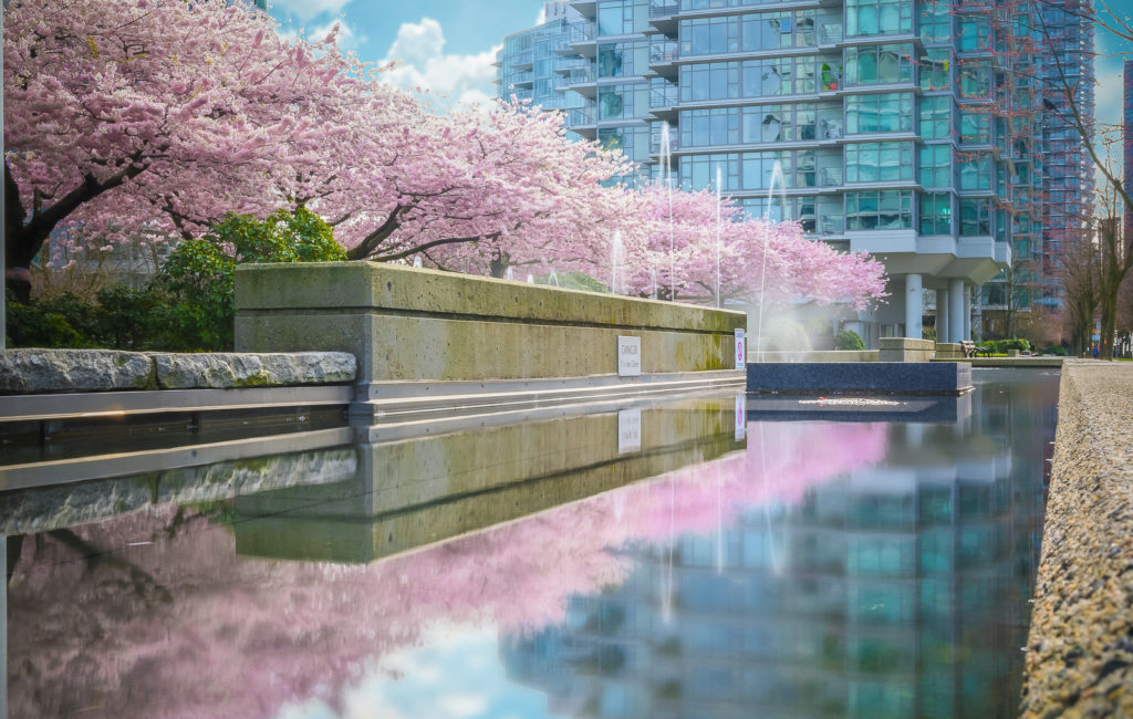 Vancouver Cherry Blossoms: 2020